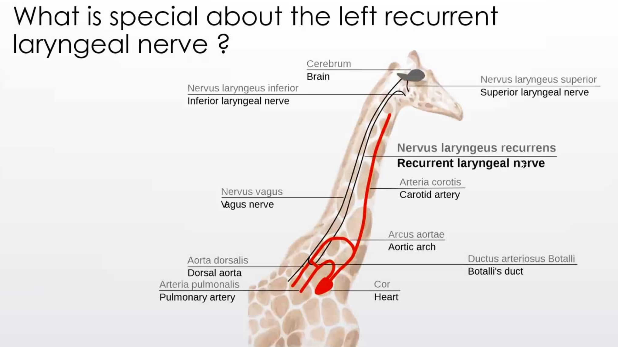 Laryngeal Paralysis - all you need to know WebinarLIVE!