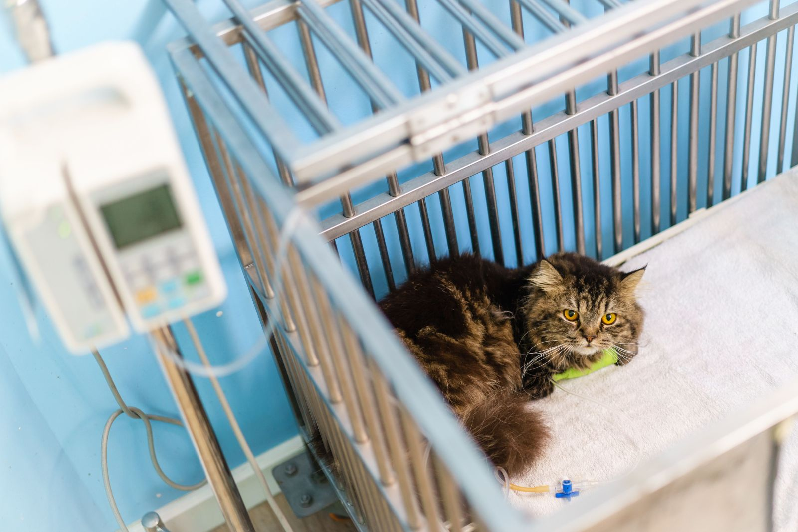 Feline Emergencies TimeOnline